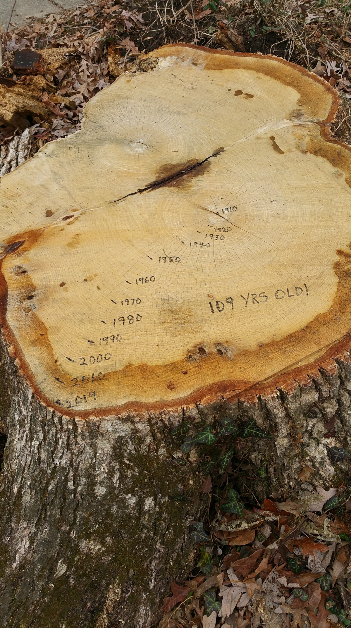 In Memoriam: GHI Tree Stump Rings Dated